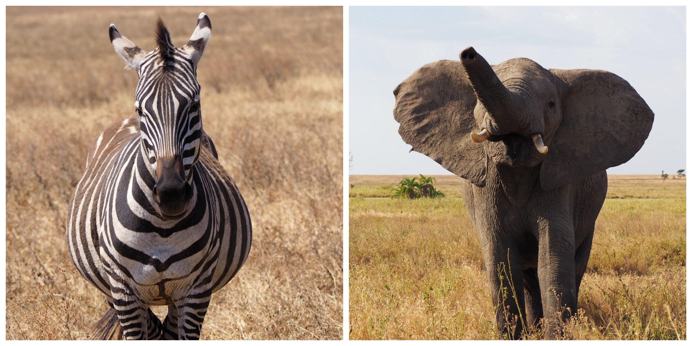 Zebra | Elephant
