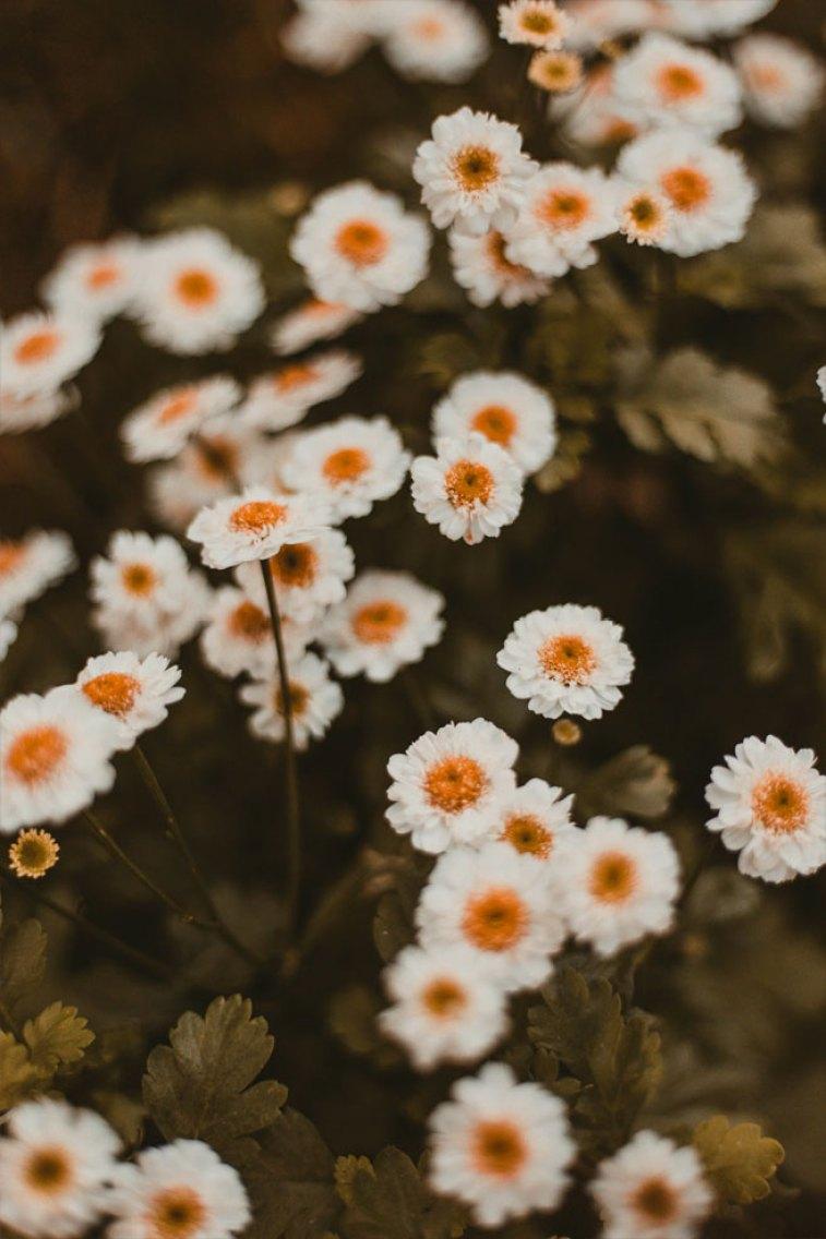 45 Beautiful flower iphone wallpaper , wild white daisy iphone wallpaper iphone wallpaper, iphone xs, iphone 7s, iphone 8s #wallpaper
