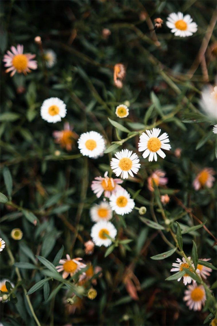 45 Beautiful flower iphone wallpaper ideas , wild white daisy iphone wallpaper iphone wallpaper, iphone xs, iphone 7s, iphone 8s #wallpaper