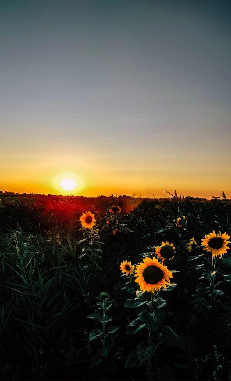 45 Beautiful flower iphone wallpaper ideas , Beautiful field of sunflowers iphone, wallpaper iphone wallpaper, iphone xs, iphone 7s, iphone 8s #wallpaper