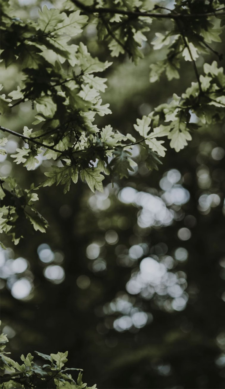 Looking for beautiful iPhone X wallpapers that have a calming affect, check out these beautiful Amazing Sunshine Shine Through Leaves , sun light shines through oak leaves, botanicals, leaf iPhone wallpaper. Leaf Phone Wallpaper - iphone background #wallpaper #background