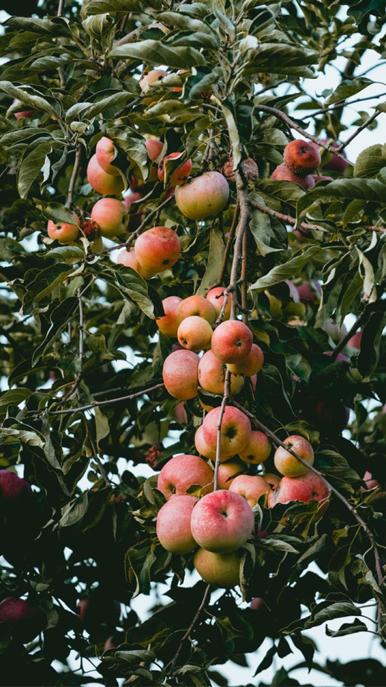 Apples , apple tree , iphone ,wallpaper #background #iphone wallpaper
