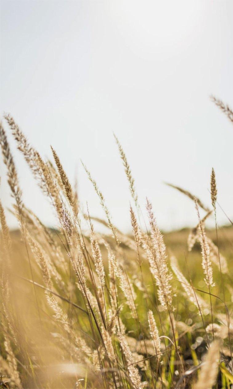 Wheat , autumn ,fall ,harvest