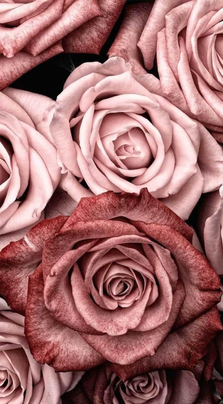 Beautiful roses, roses, pink roses #wallpaper #background #iphone #flowers #feminine