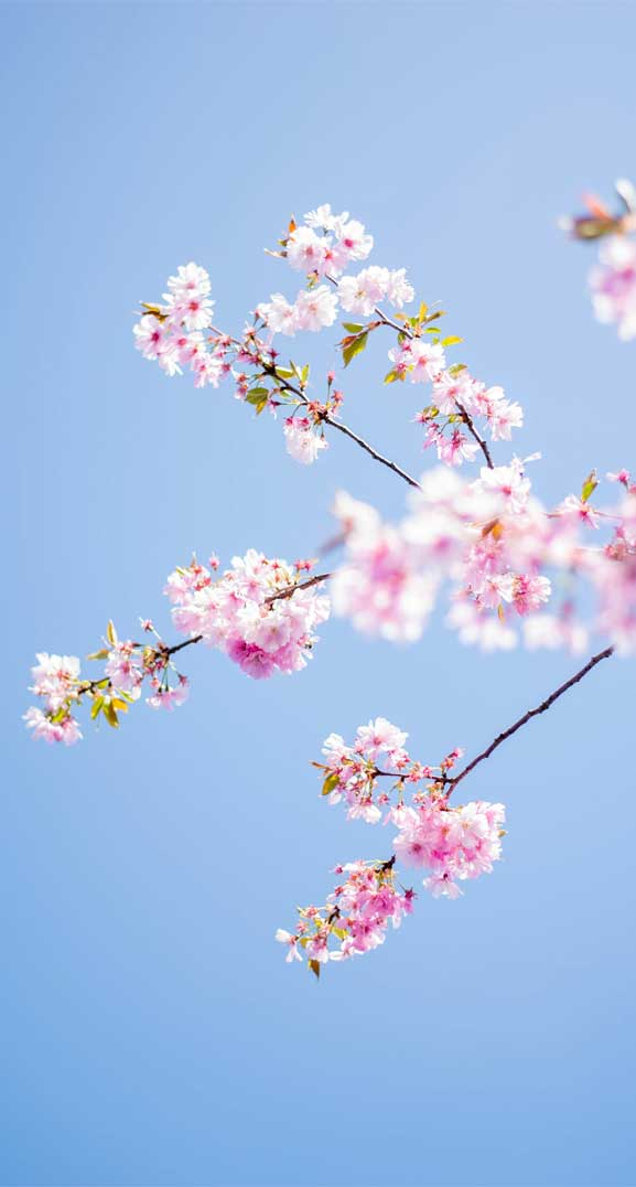42 Pretty Blossom Iphone Wallpapers Page 3 Idea Wallpapers