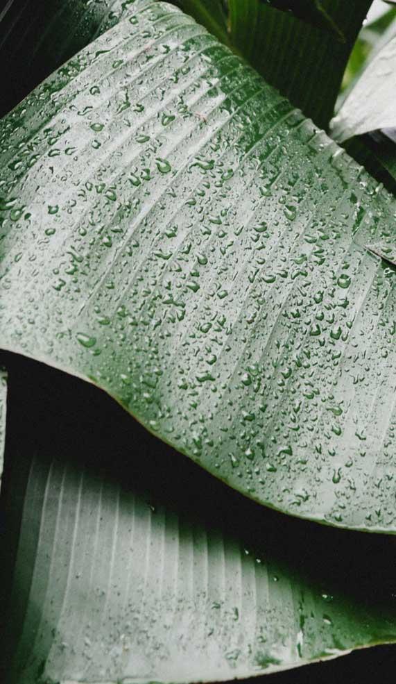 leaf wallpaper, green leaf wallpaper, green leaf wallpaper ideas, tropical leaf wallpaper , banana leaf wallpaper, leaf wallpaper iphone, leaf iphone wallpaper, green leaf iphone wallpaper #iphonewallpaper #greenleaf #leafiphonewallpaper