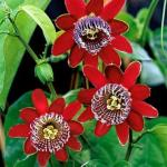 planta floarea pasiunii