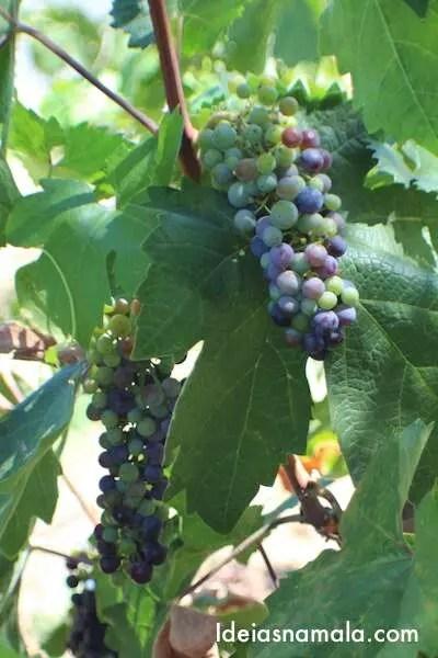 Uvas em Napa Valley