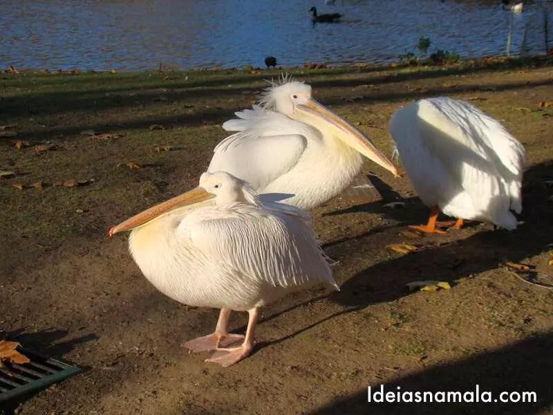Pelicanos no Saint James Park em Londres
