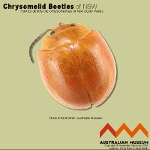 Chrysomelinae_key_icon