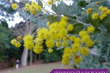 Árvore Acácia Mimosa- Acacia Podalyriifolia