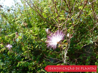 Caliandra - Esponjinha - Calliandra Brevipes