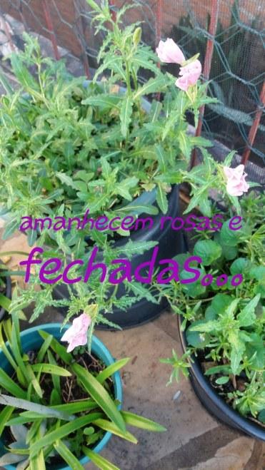Identificação de Plantas - Muda de cor quando murcha-Oenothera speciosa