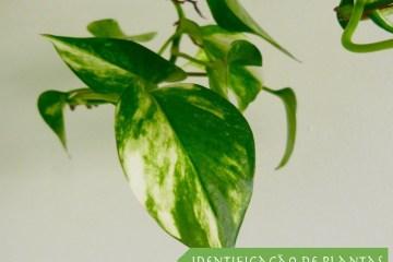 Jiboia - Epipremnum aureum
