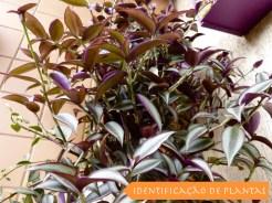 Zebrina - Tradescantia Zebrina - Lambari - Folhagem Roxa - Forração