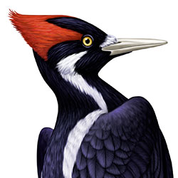 Ivorybilled Woodpecker Identify  Whatbirdcom