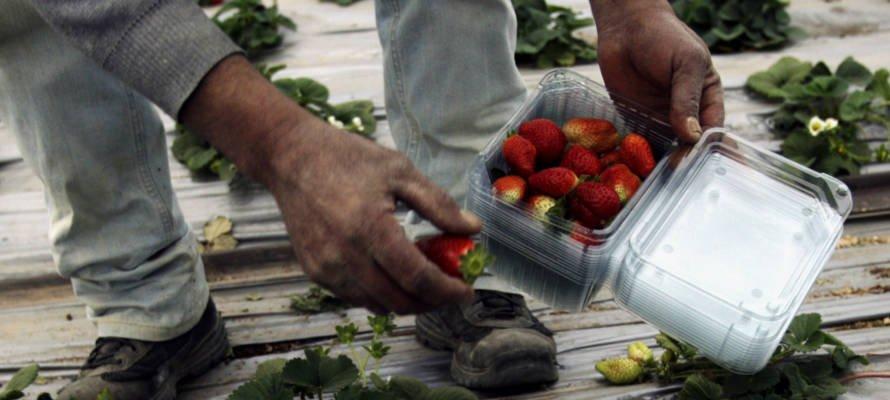 Israël aide les agriculteurs de Gaza à exporter leurs fraises au Royaume-Uni et dans les États du Golfe