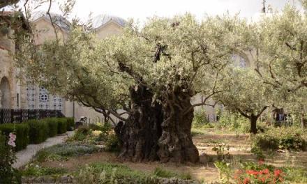 Il y a environ 7 000 ans, des oliviers cultivées en Israël