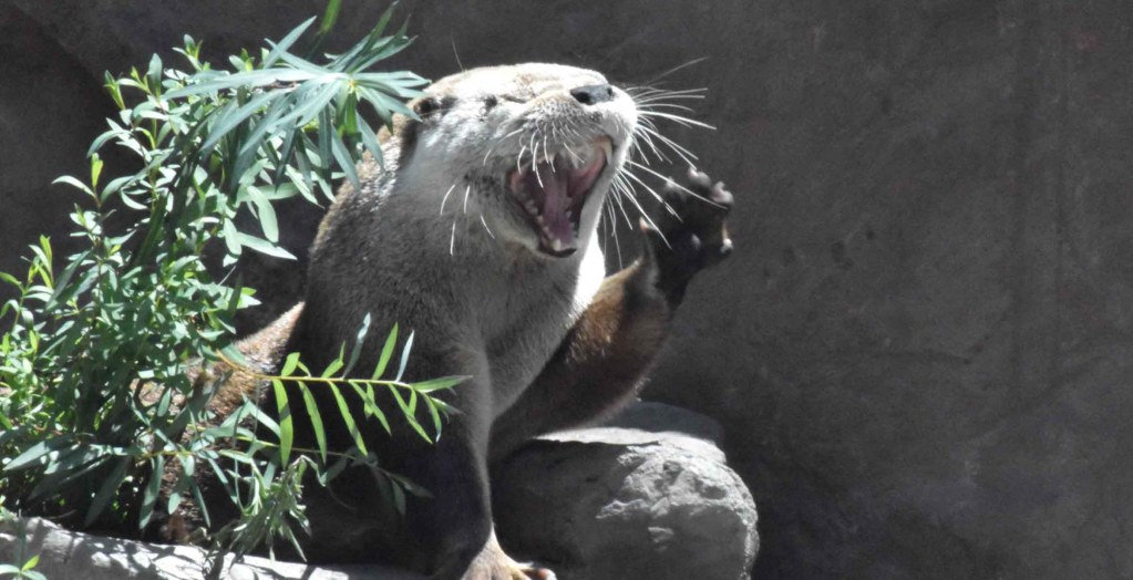 Funny Otter sitting on a rock