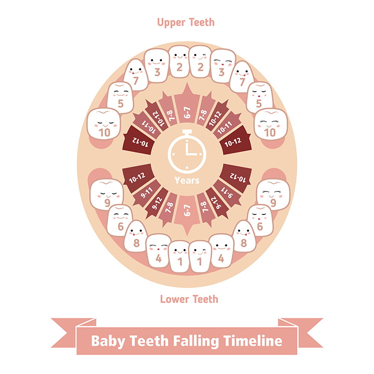 How You Lose Your Baby Teeth