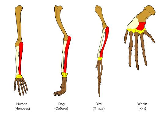 Homology in vertebrates