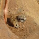 meerkat_kit_2-150x150