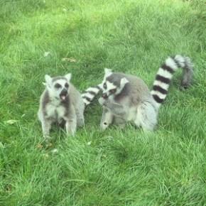 ringtailed_lemurs-300x300