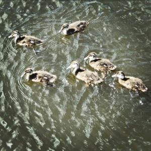 ducklings-300x300