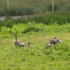 greylag_geese-500x500