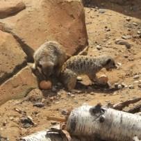 meerkats_eggs-300x300