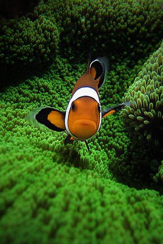 Apple Clownfish Wallpaper Iphone X Clown Fish By Pedro Gonio Iphone Wallpaper Idesign Iphone