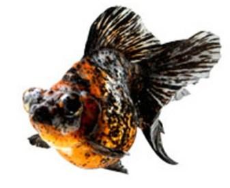 Cara Budidaya / Memelihara Ikan Mas Koki Ala Mutia