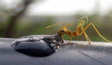 μυρμήγκι πίνει βότκα