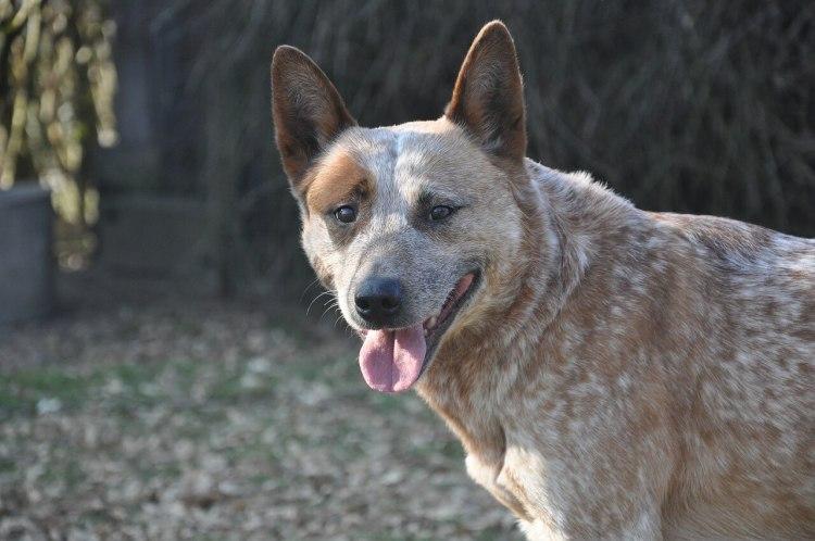 Australian-Cattle-Dog-healthiest-dog-breeds