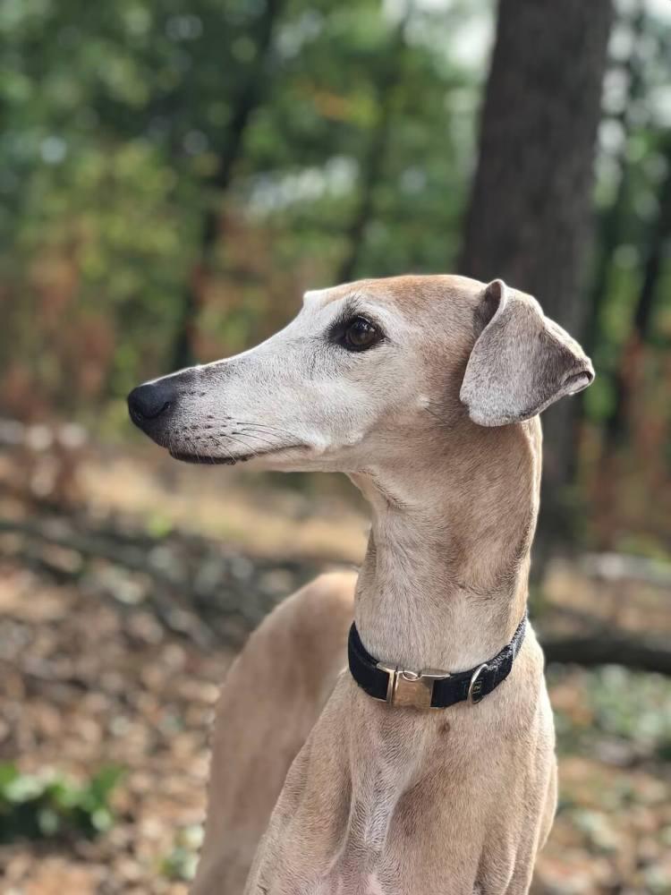 Azawakh-healthiest-dog-breeds