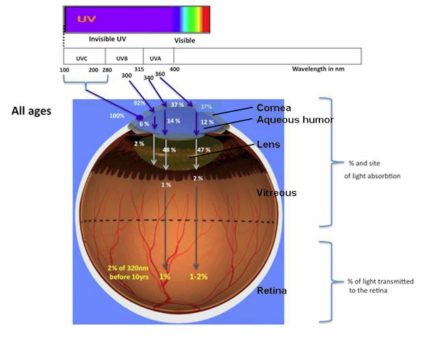 UV absorption within an eye