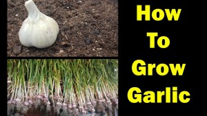 How To Grow Garlic – The Definitive Guide For Beginners