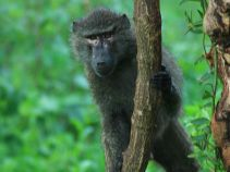 black_baboon_in_green_forest_dream-of-africa_tours_safari_tanzania_tarangire