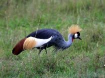 crowned_crane_dream-of-africa_tours_safari_tanzania_northern-circuit