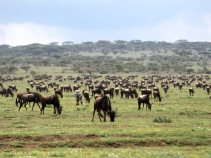 gnu_field_dream-of-africa_tours_safari_tanzania