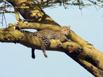 leopard_in_tree_dream-of-africa_tours_safari_tanzania