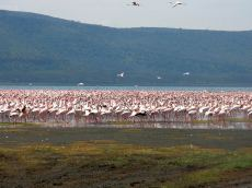 pink_flamingos_dream-of-africa_tours_safari_tanzania