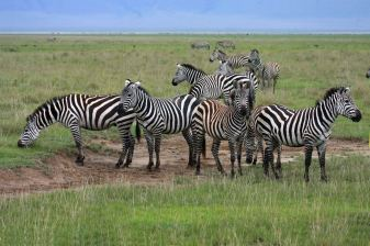 zebra_group_dream-of-africa_tours_safari_tanzania_serengeti