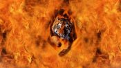 tiger-from-the-flames