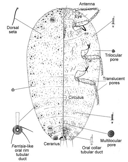 Scale Insects: Fact sheet