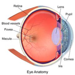 Diagram Of Artificial Eye Car Wiring Diagrams Bioengineering A Better The Advent Retinas