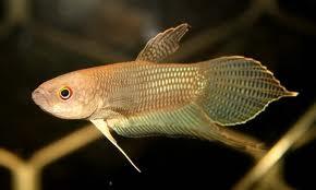 Ikan Cupang Serawak