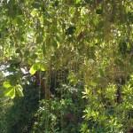 Barringtonia