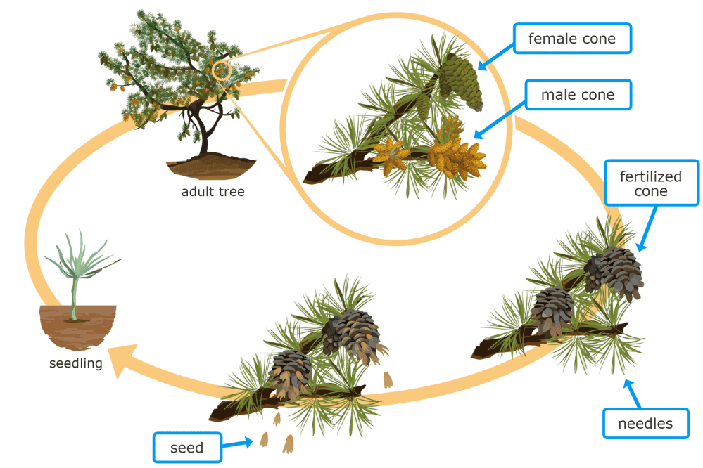 medium resolution of t 1 angiosperm and conifer life cycles