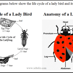 Bird Life Cycle Diagram Evinrude Etec Ignition Switch Wiring Ielts Writing Task 1 Lady